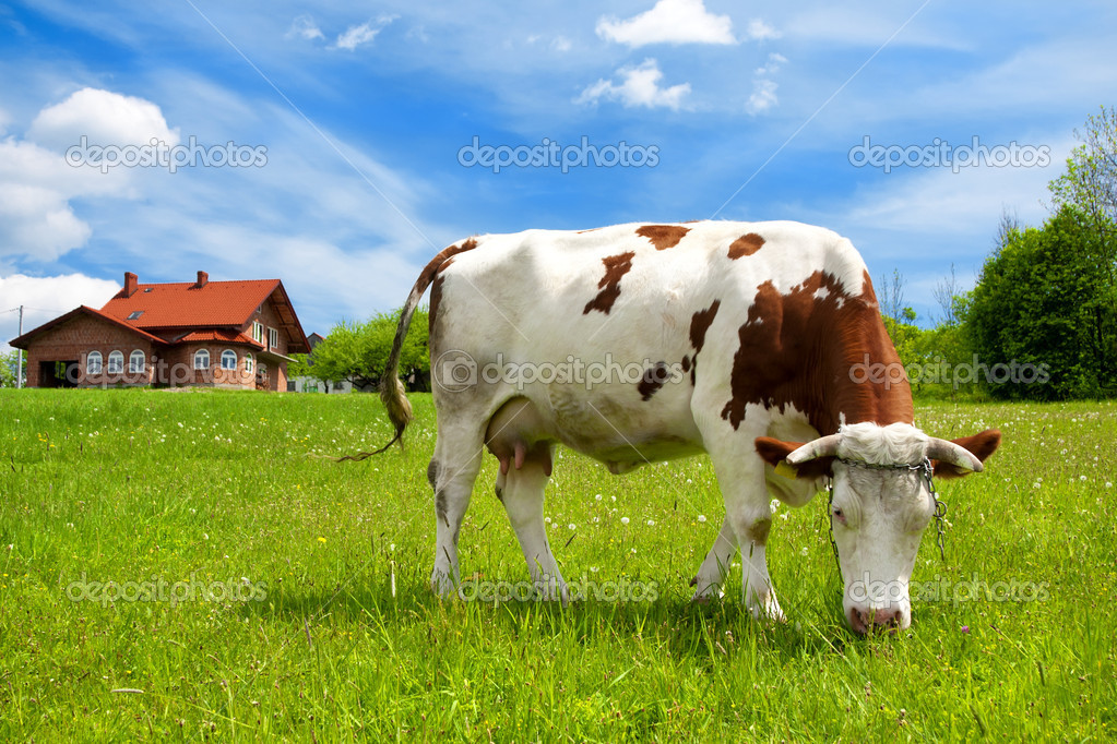 Cow in the meadow and new house