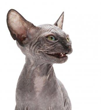 Bald sphinx cat