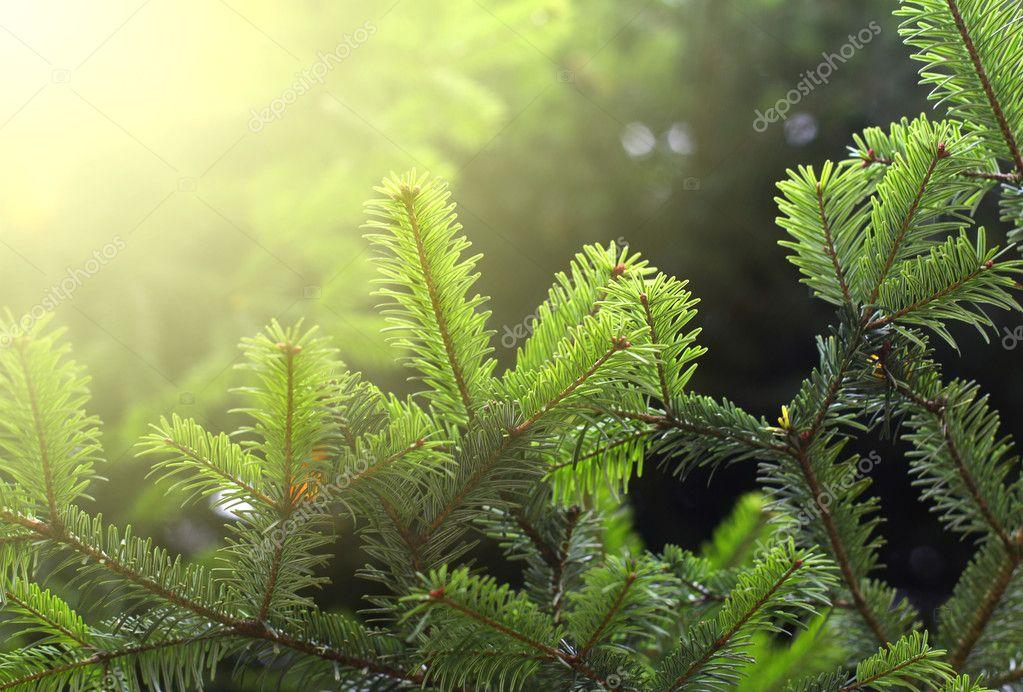 Spruce twig