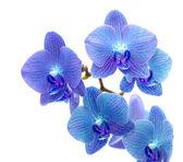 Fényképek kék orchidea