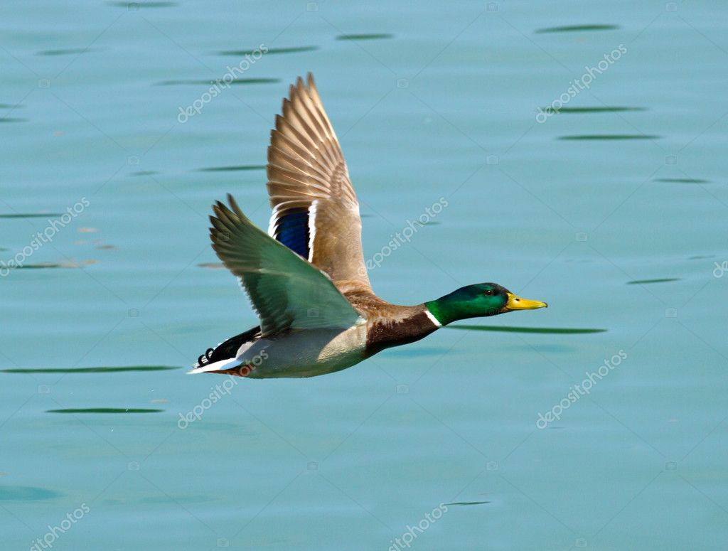 mallard duck u2014 stock photo lsantilli 5703710