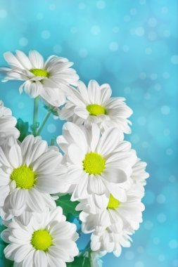 Daisies flowers on blue background