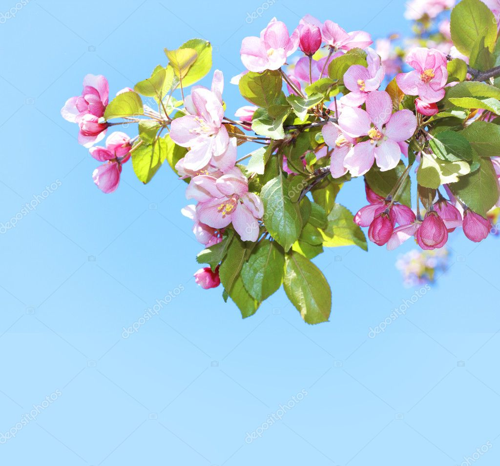 Blossoming apple tree pink flowers