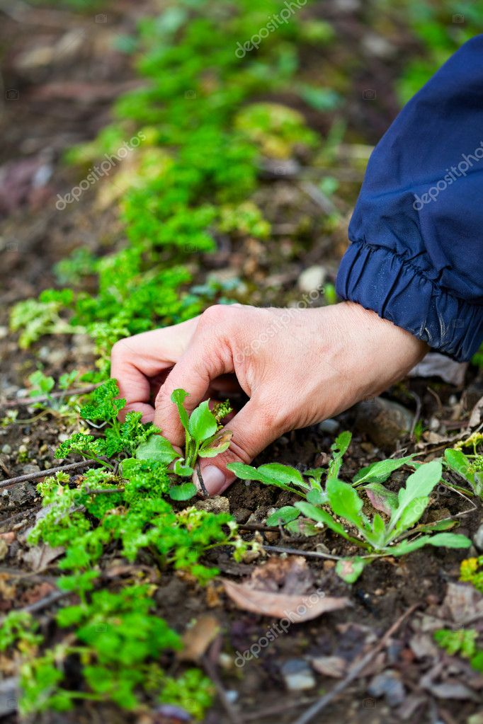 Woman hand weeding through parsley
