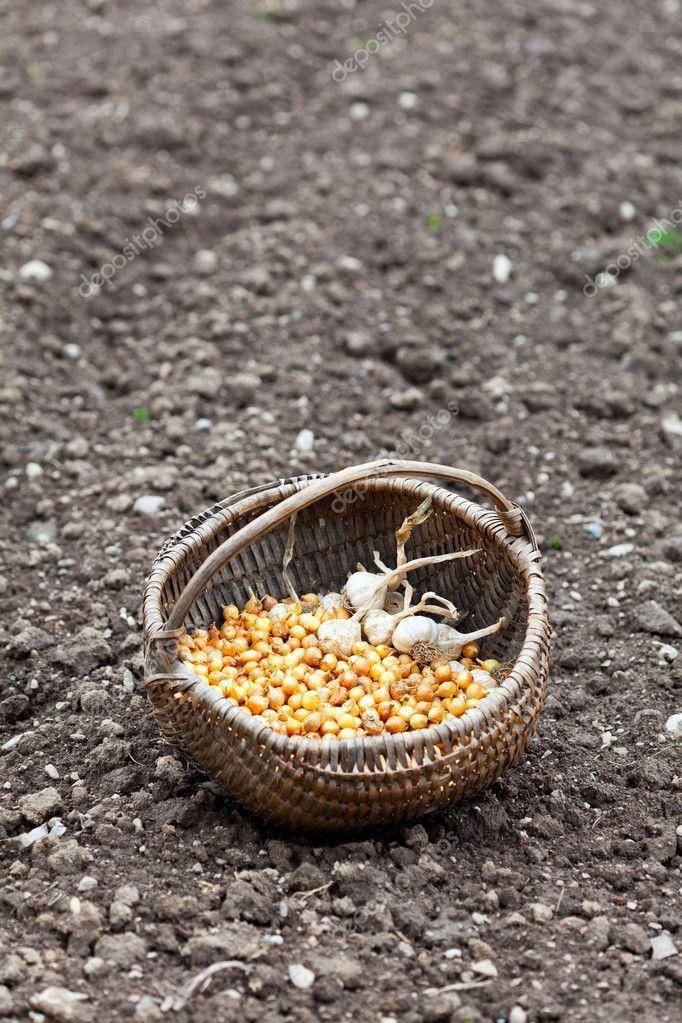 Basket with shallot and garlic on ground