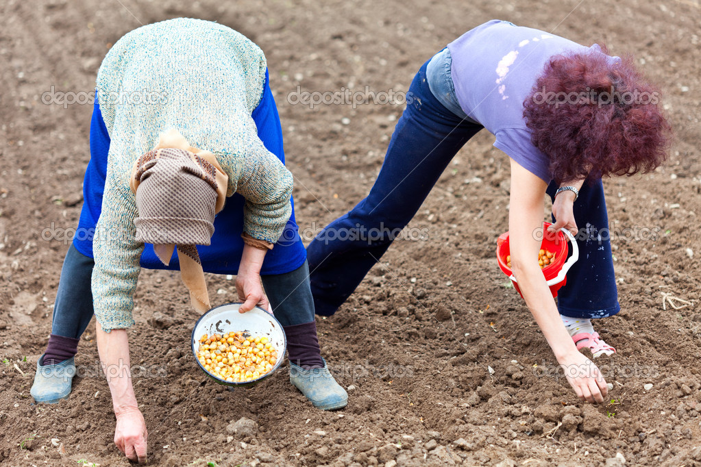 Women planting shallot (young onions)
