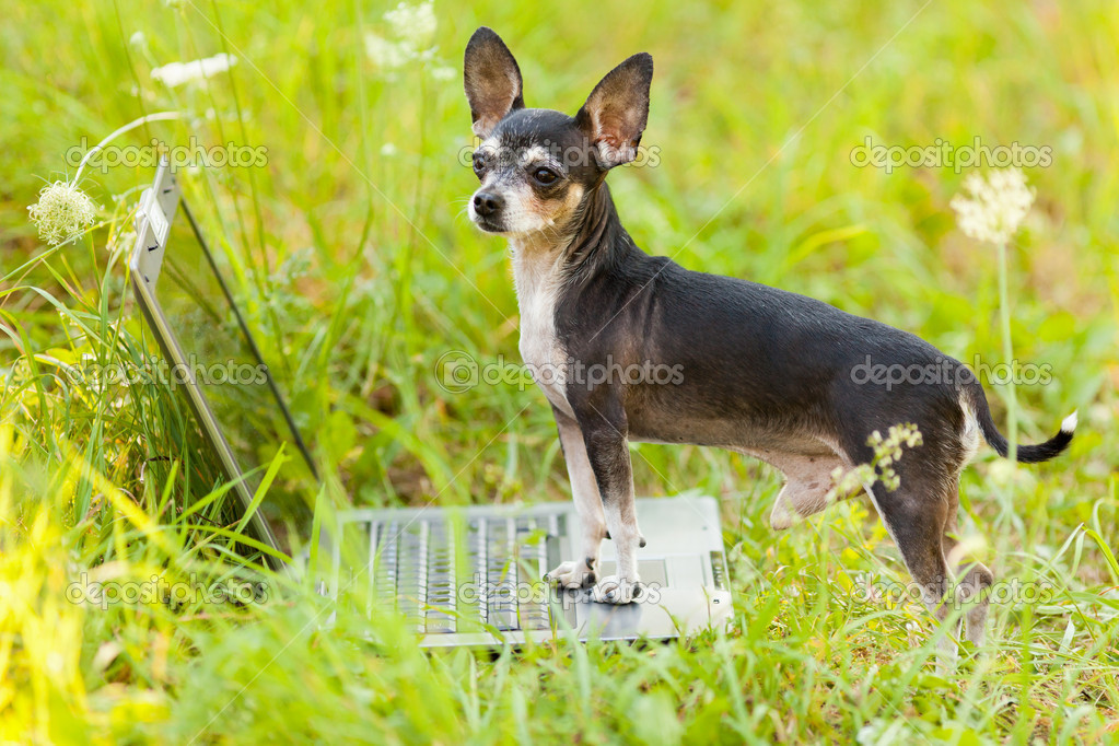 Chihuahua dog at the laptop, outdoor