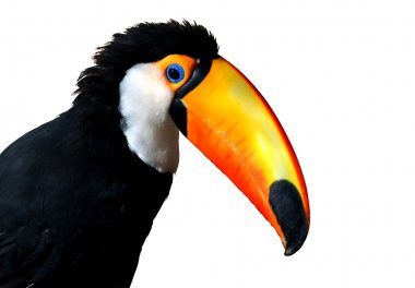Colorful Caribbean Toucan with large orange beak