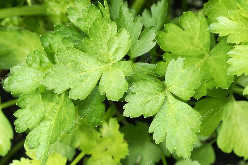 Growing parsley leaves