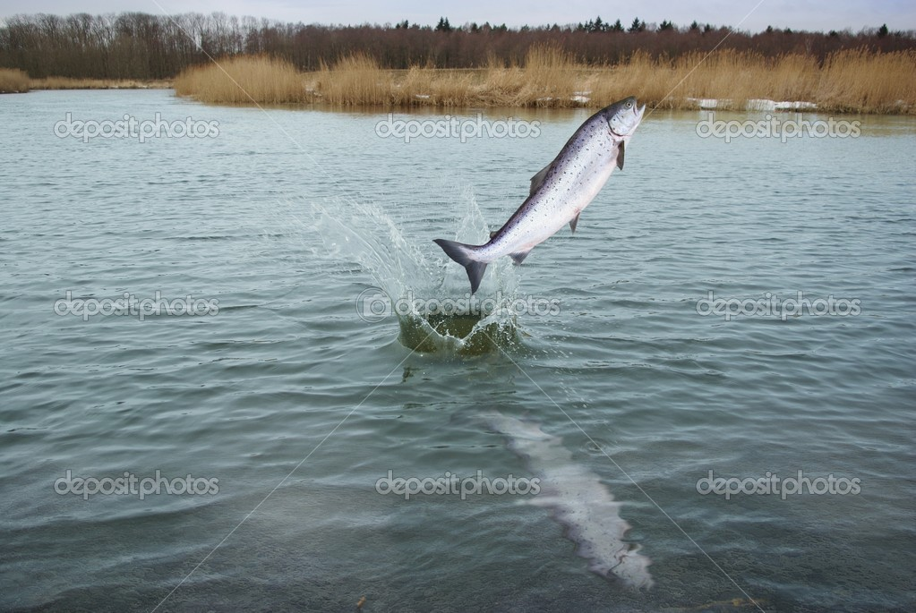 Jumping out from water salmo