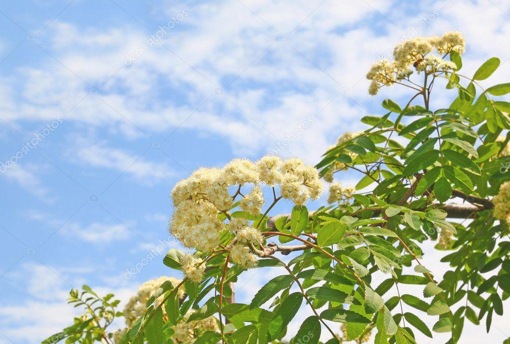 Branch of flowering wild ash