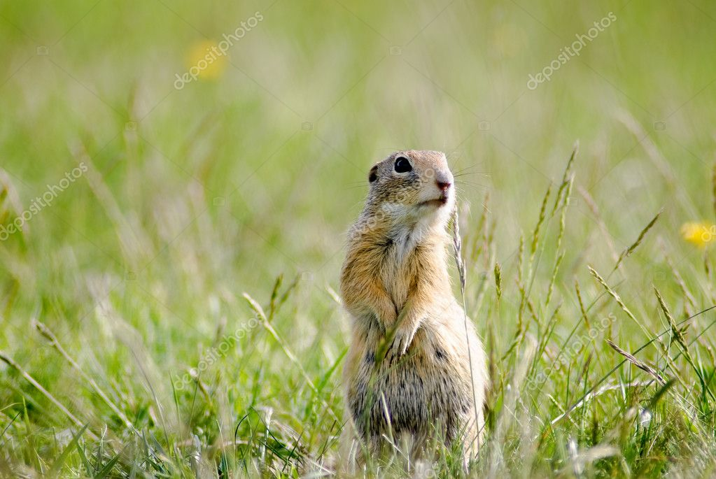 Gopher between flowers and grass