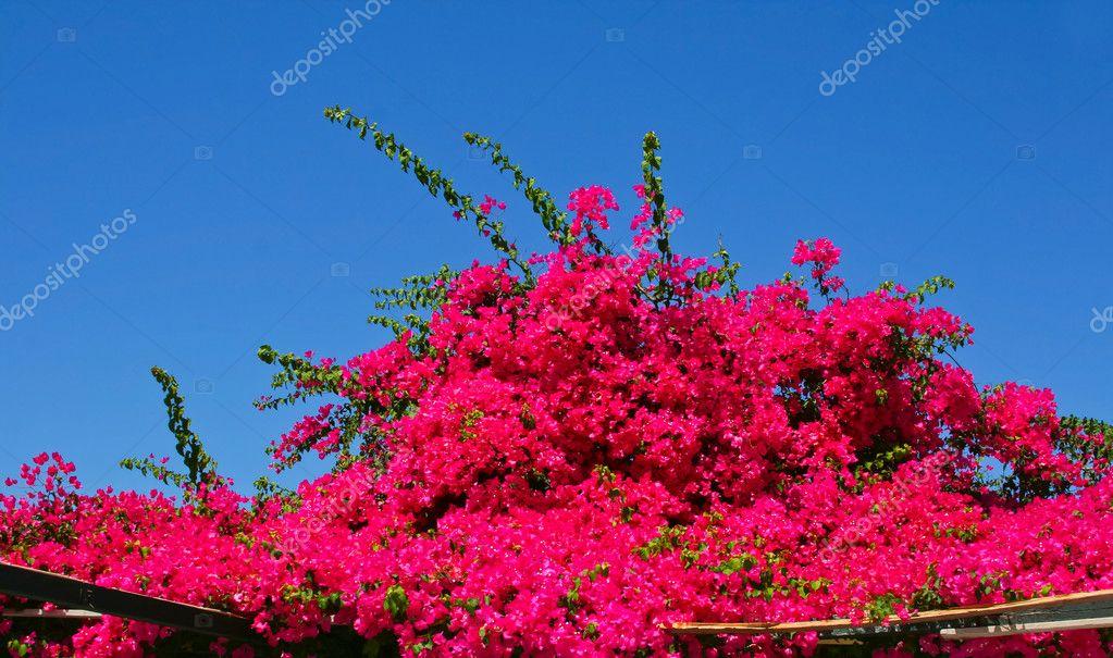 arbre fleur rose au rue santorin photographie almotional 5648789. Black Bedroom Furniture Sets. Home Design Ideas