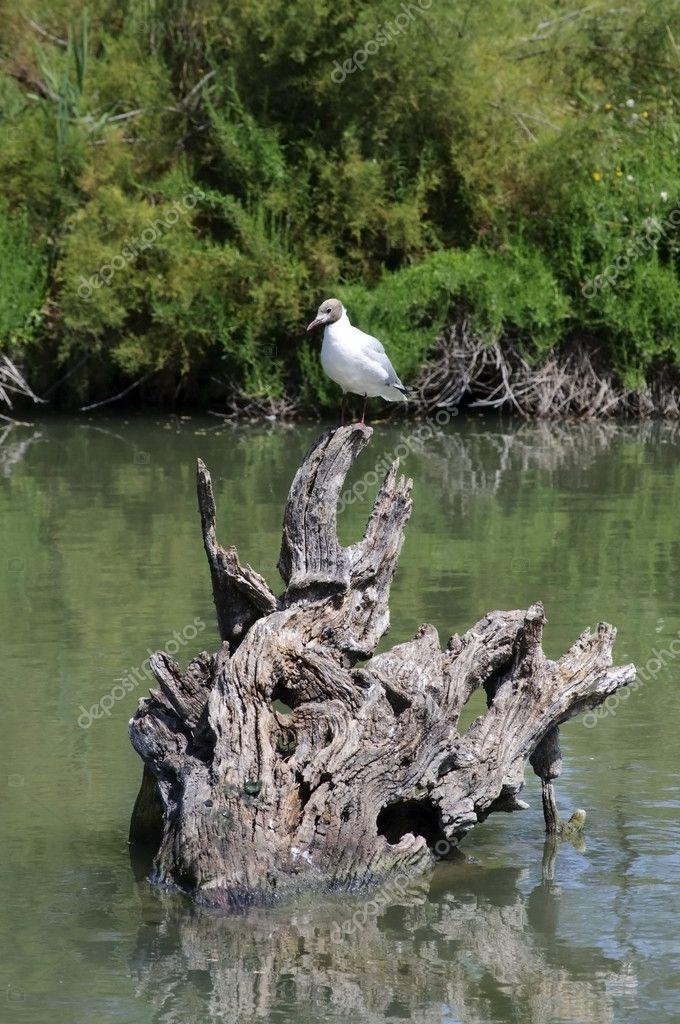 Wildlife: Greylag Goose in Camargue