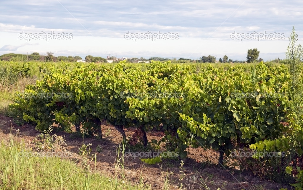 Vineyard - Vin de sable, Camargue