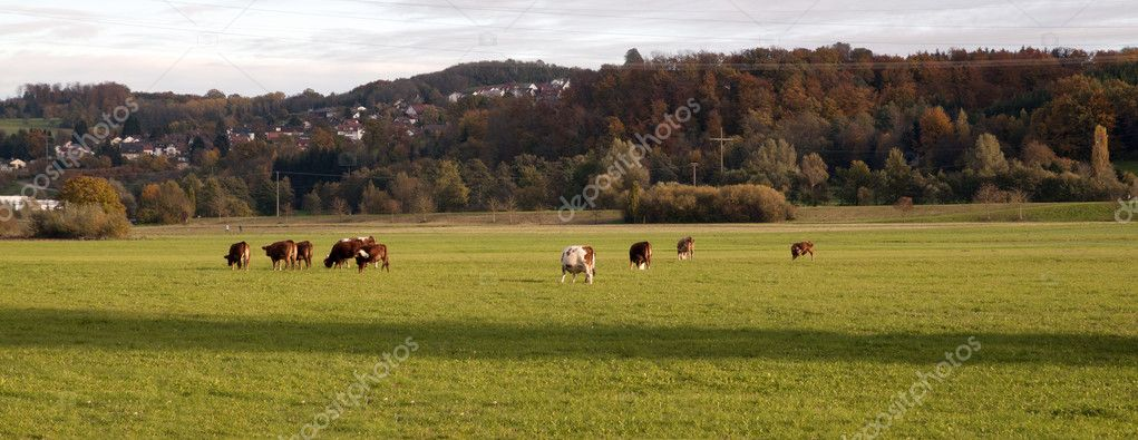 Cows grazing in Germany