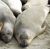 Fotografie Seal elephant