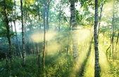 Fotografie Sunny forest