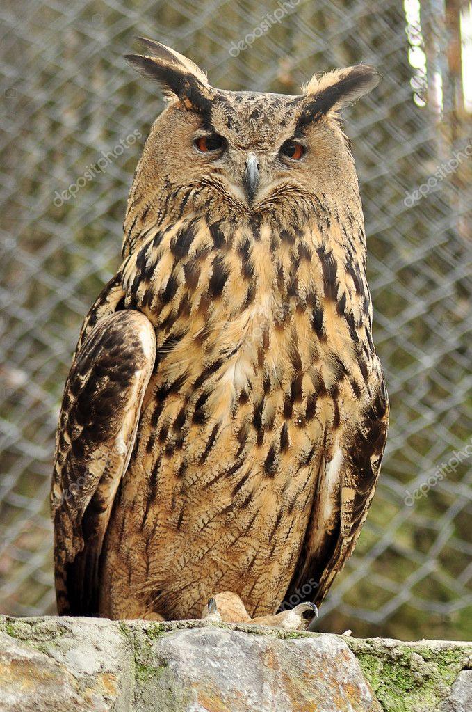 Eagl owl