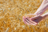 Fotografie farmář ruce hospodářství zralé pšenice kukuřice