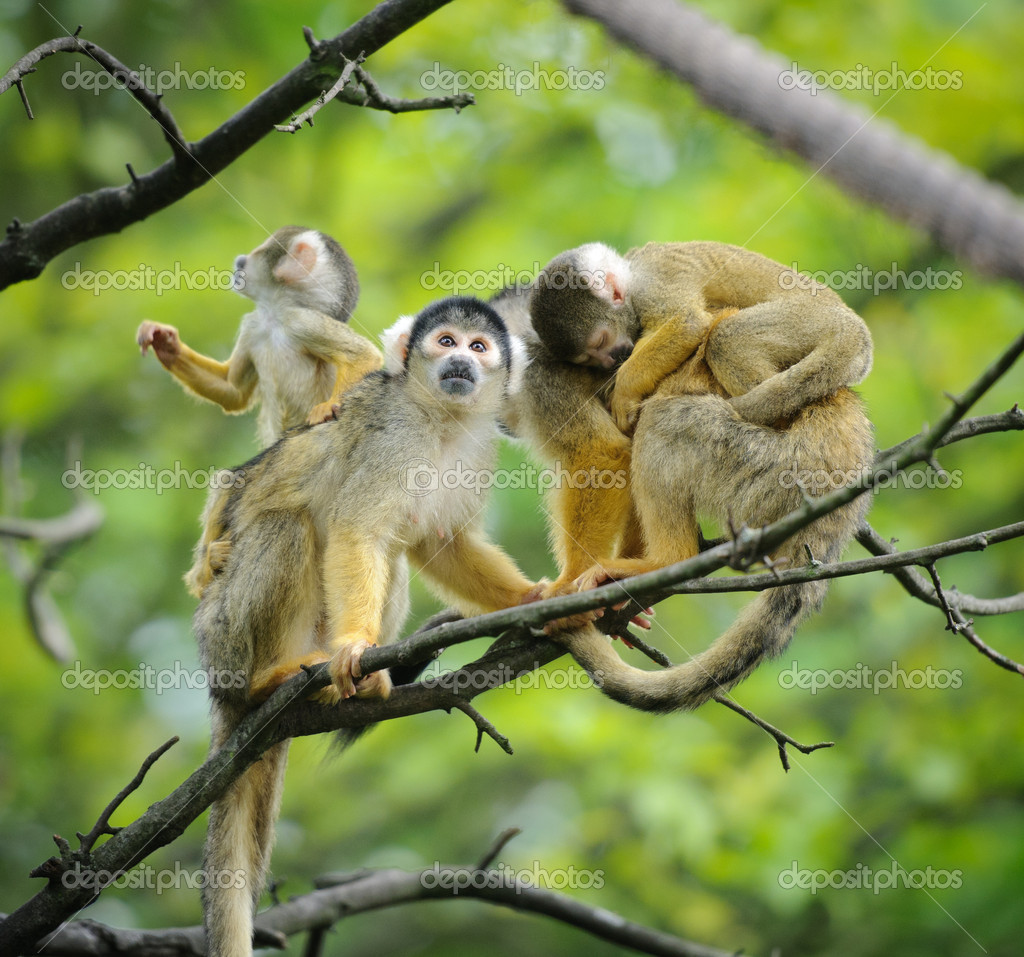 Squirrel monkeys with their babies