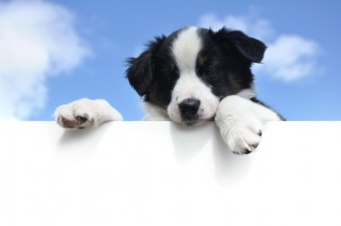 Australian Shepherd (Aussie) Puppy Above a Blank Sign