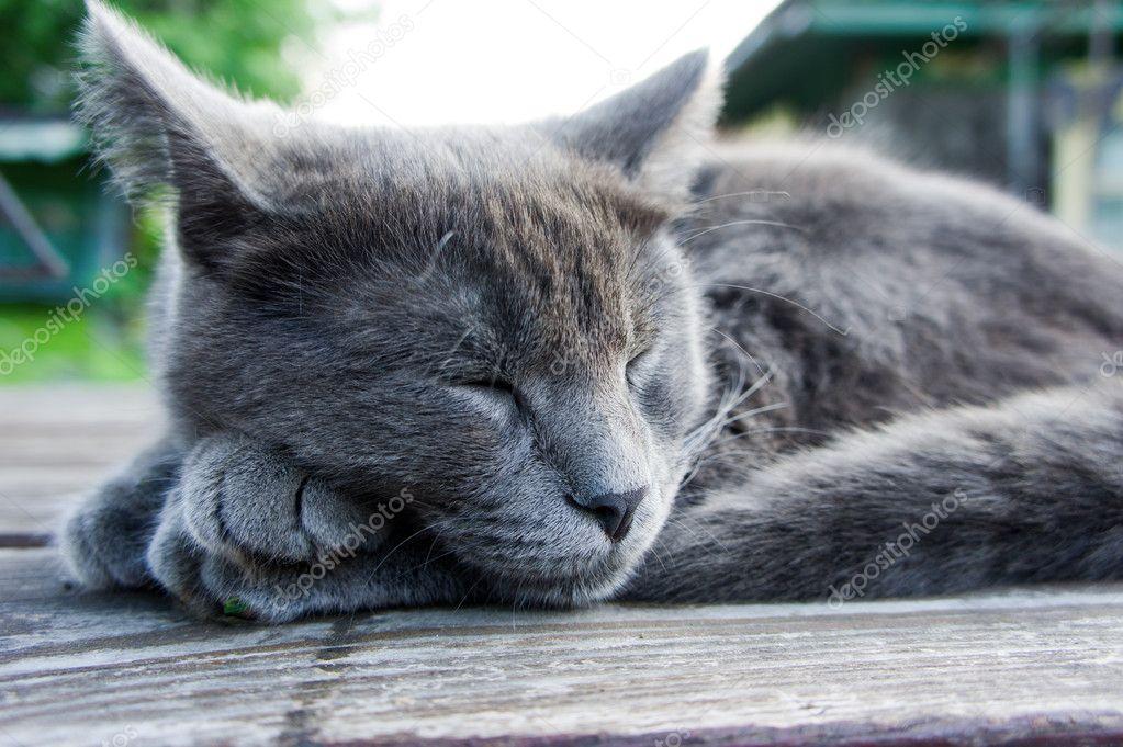 Kot Rasy Rosyjskiej Niebieski