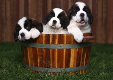 Three Adorable Saint Bernard Puppies in a Barrel