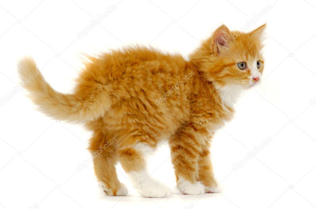 In piedi di gattino gatto dolce su sfondo bianco foto for Piani domestici di 2000 piedi quadrati