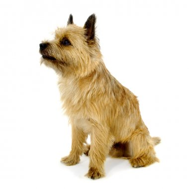 Sitting Cairn Terrier dog.