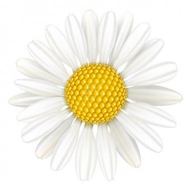 Flower chamomile, medicinal plant.