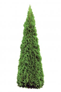 Thuja occidentalis 'Smaragd', Isolated, Evergreen American Arborvitae Occidental Smaragd Wintergreen, Large Detailed Closeup stock vector