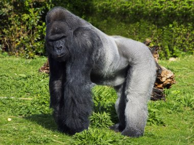 A large male silver back western lowland gorilla