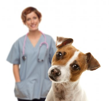 Jack Russell Terrier and Female Veterinarian Behind