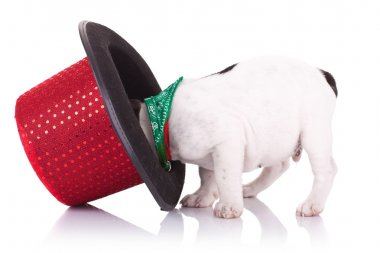 French bulldog with show hat