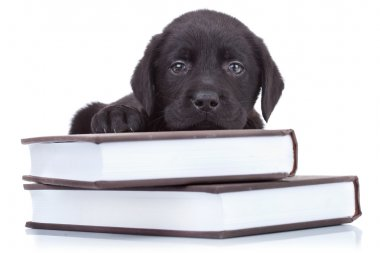 Smart little labrador