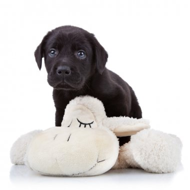 Shy little black labrador retriever puppy playing with a toy sheep stock vector
