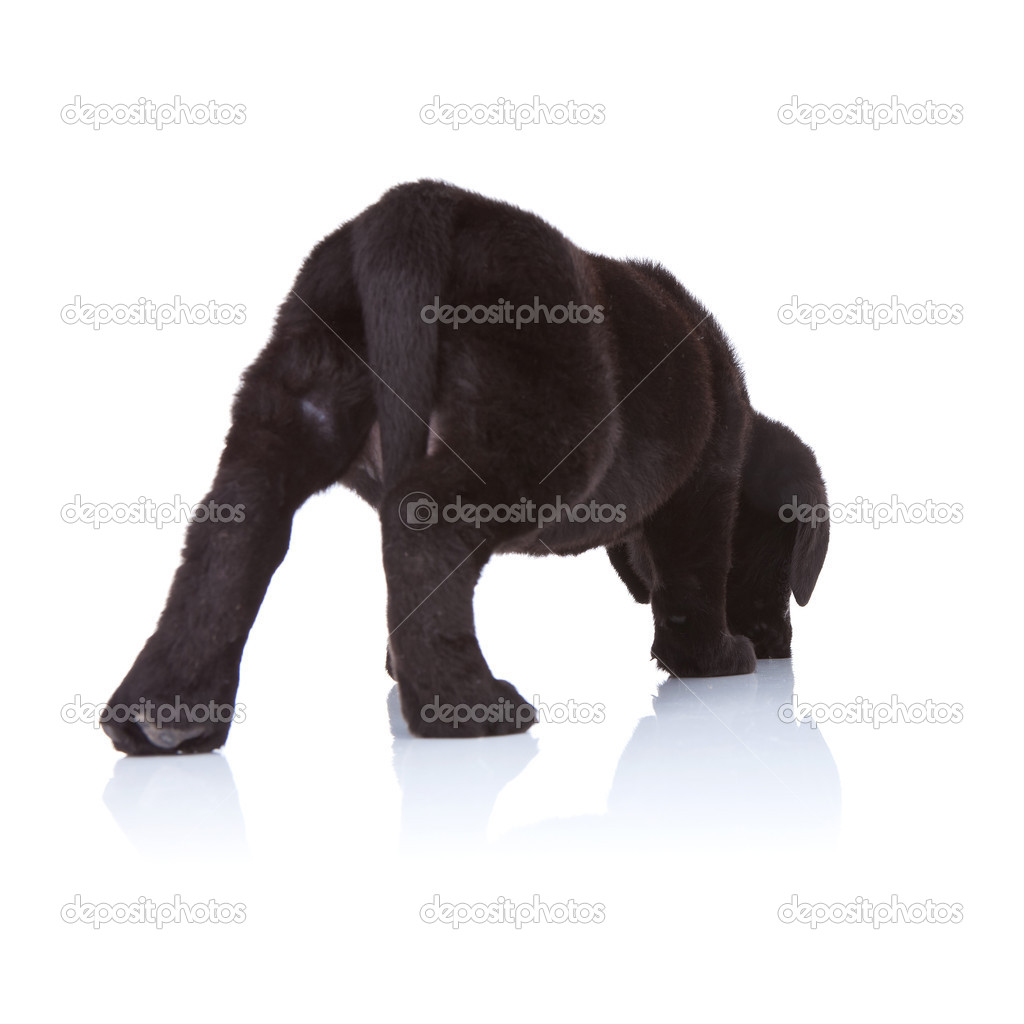Black Labrador Retriever Puppy Sniffing Stock Photo C Feedough