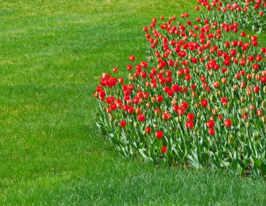 A row of red tulips