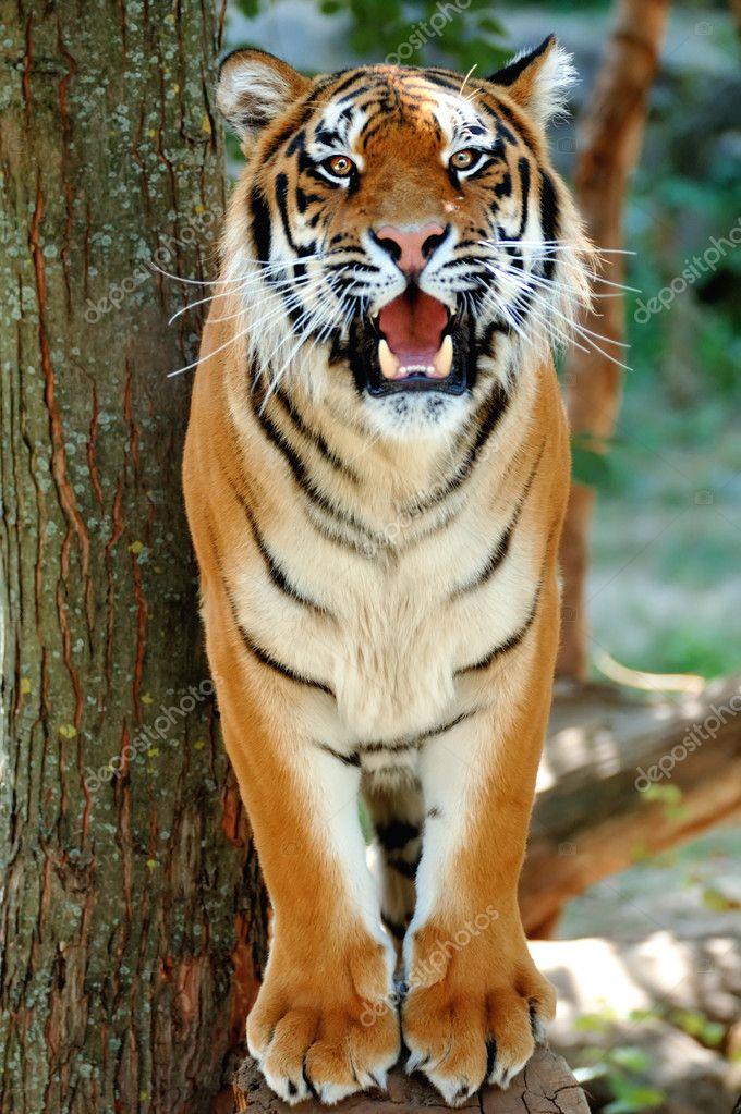 Tiger on a tree