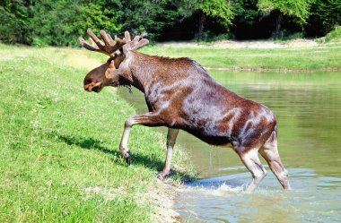 An elk goes out a lake