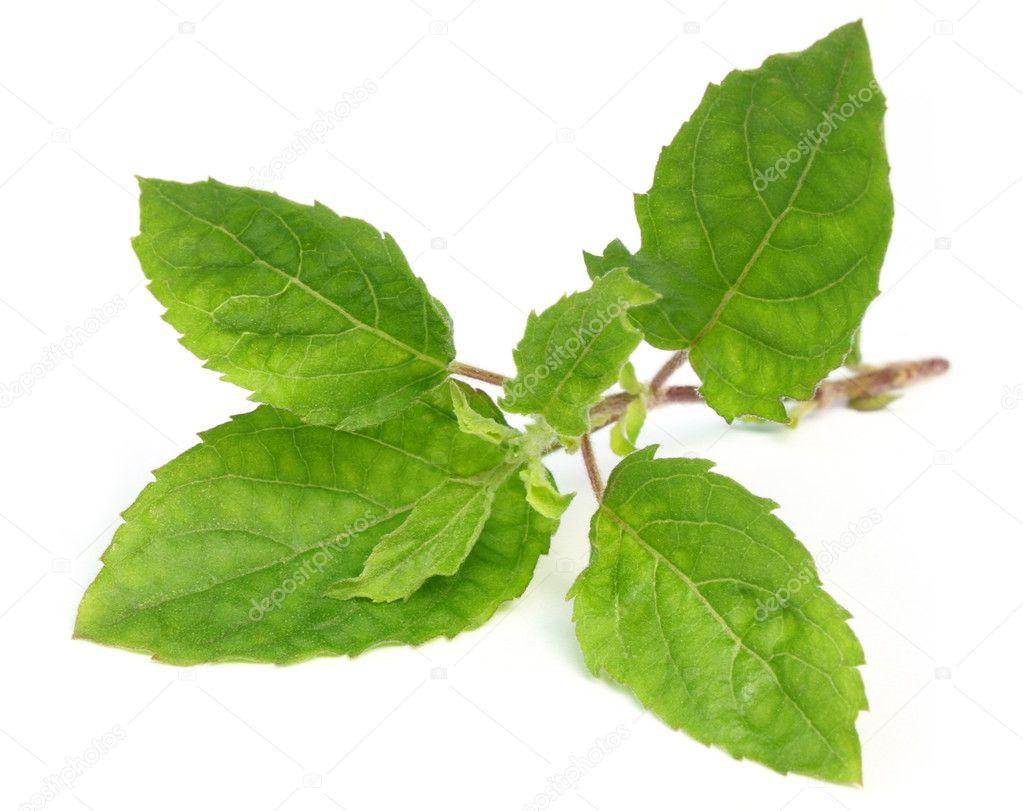 Medicinal tulsi leaves