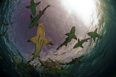 Shark Pack