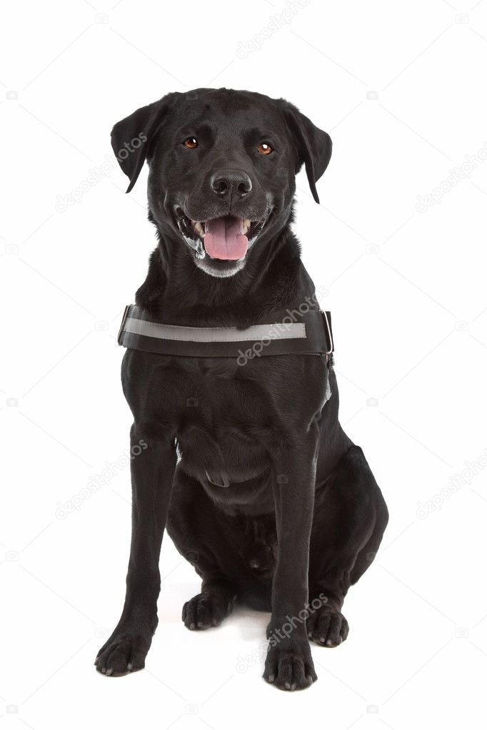 Mix Breed Dog Labrador Rottweiler Stock Photo Eriklam 6359115
