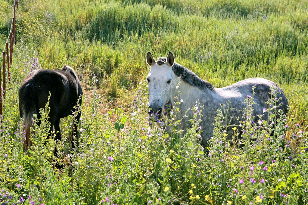 White Andalucian horses in overgrown field in Spain