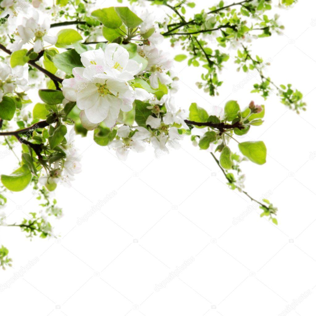Apple Blossom over White