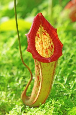 Nepenthe tropical carnivore plant