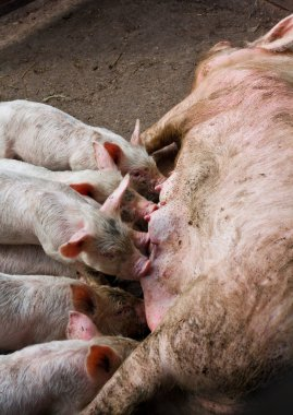 Sow feeding the pigs