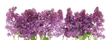 Purple lilac border