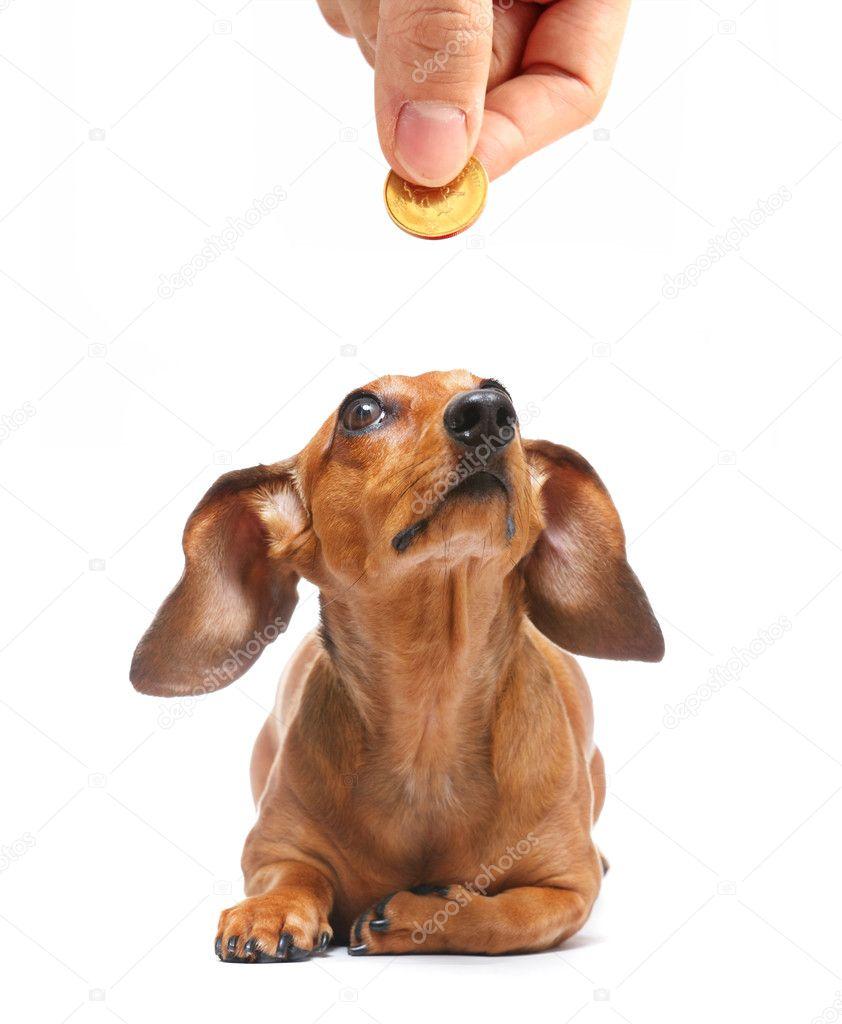 Dachshund dog looking to money